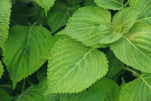 Nổi mề đay thường xuyên nên tắm bằng những lá này