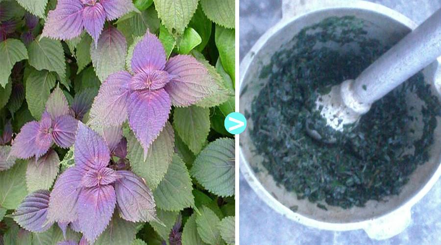 tác dụng chữa mề đay của lá tía tô
