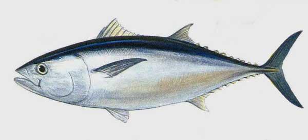 Hình ảnh cá ngừ