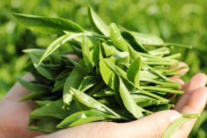 lá trà xanh chữa bệnh mề đay